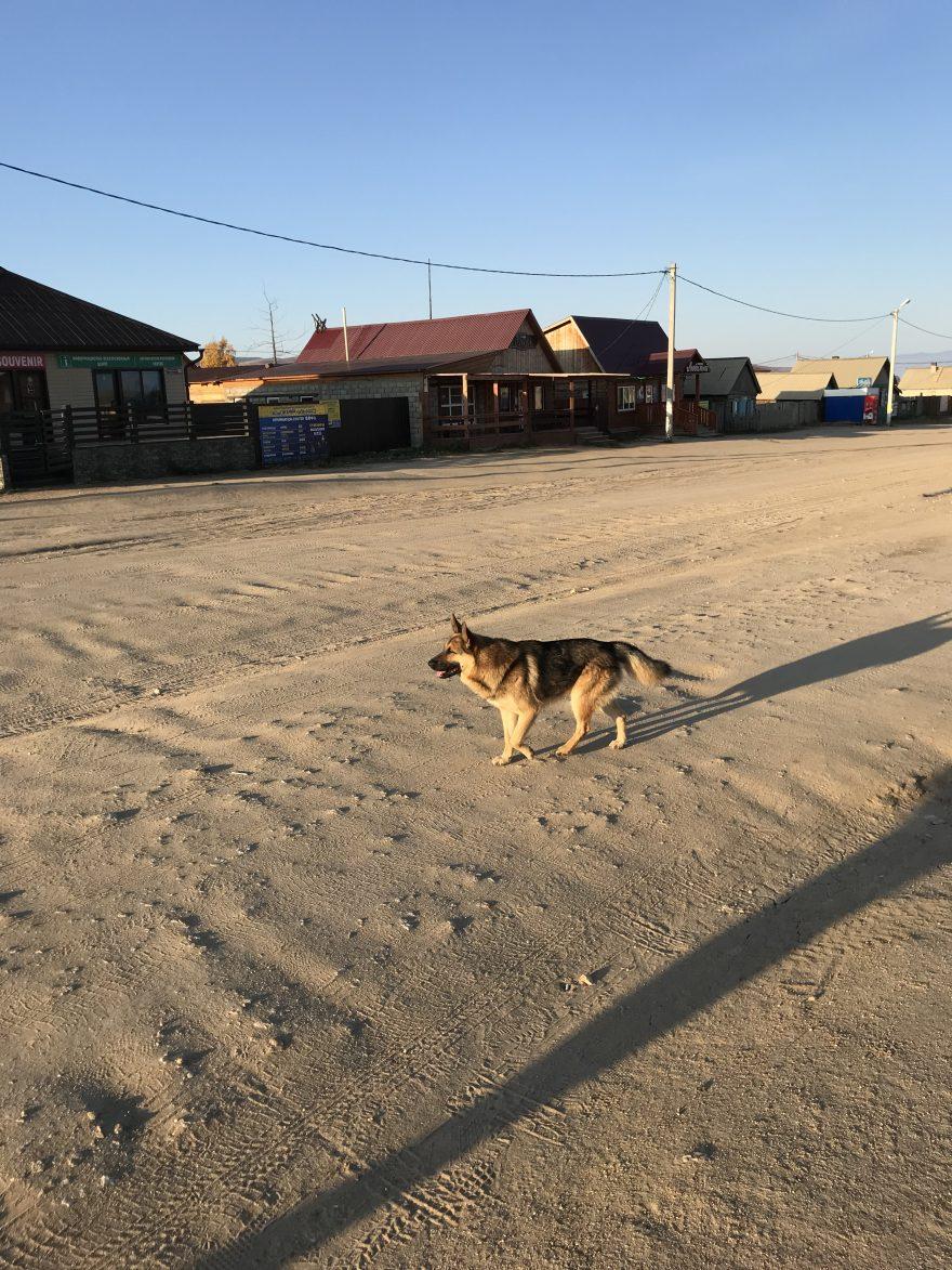 Na ostrove Olhkon žije spousta divokých psů