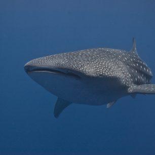 Žralok velrybí - Moluky, Bandské moře