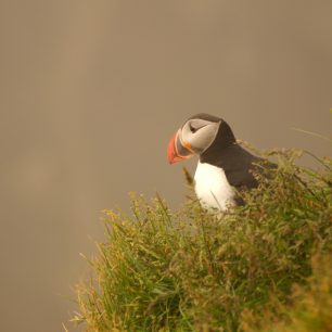 Puffin_Westernfjords