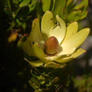 Květ protey, typické rostliny jižní Afriky, která však vyhledává spíše drsnější klima