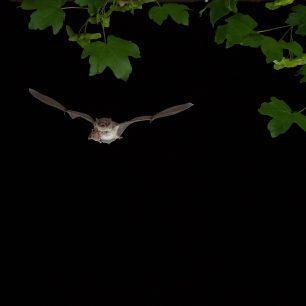 Netopýr je aktivní v noci