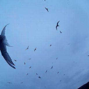 ptáci útočí aneb po stopách Alfreda Hitchcocka, Island